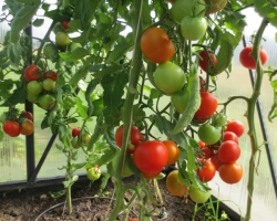 Tomatikasvatus